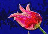 Psychedelic Tulip
