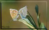 icarusblauwtje_DSC8386a.jpg