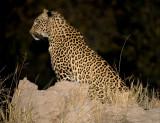 Female Leopard - Saseka/Thandi