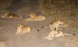 Nkuhuma Lion Pride