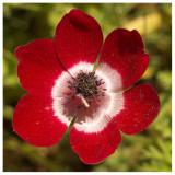 Anemone coronaria