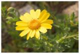 Chrysantemum segetum