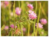 Trifolium nigrescens