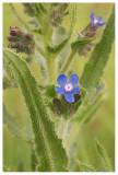 Anchuza azurea