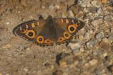 Junonia villida (Nymphalidae)