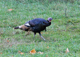IYoung  Tom Turkey Along Entiat River