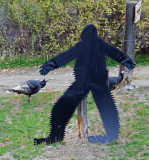 Bigfoot Of Entiat Valley About To Catch And Eat Two Wild Turkeys