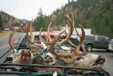 Hunting Season  In  Late Buck In Entiat Valley