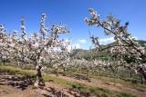 Braburn Apple Orchard Up Entiat Valley