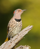NorthernFlicker07-9051-1.jpg