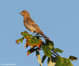 HouseFinch22c7108.jpg