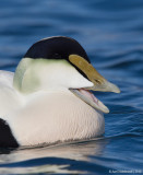 CommonEider26c5771.jpg