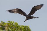 MagnificentFrigatebird02c6214.jpg