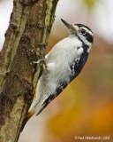 HairyWoodpecker20c1890.jpg