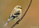Goldfinch115c2112.jpg