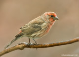 HouseFinch21c3545.jpg