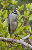 Yellow-crownedNight-Heron01c6749.jpg