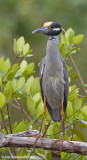 Yellow-crownedNight-Heron03c6786.jpg