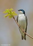 TreeSwallow17c8410.jpg