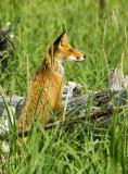 Red fox near Olga Bay