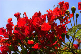 Poinciana in full glory