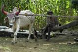Farm scene, rural Rajasthan