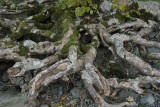 Tree roots at Derwent Water