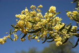 Prickly Wattle in blossom