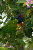 Native lorikeet