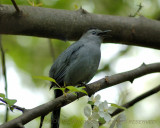 D1X 20100501_14 Gray Catbird Singing.JPG