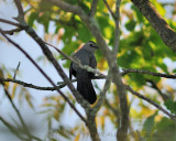 20100521_46 7am Birding - Another Grey Catbird.JPG