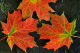 Maple Leaves - Letchworth Falls SP, NY