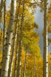Aspen Fall Color 1