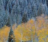 UT - Aspen Fall Color 3