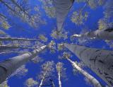 Aspen Fall Color 5