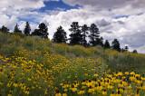 Flagstaff Wildflower Hillside