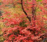 Oak Creek West Fork Fall Color 1