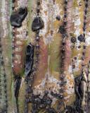 Saguaro Bark