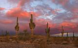 Saguaro Sunset 4