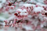 AZ - Sedona - Snowy Japanese Maple 2