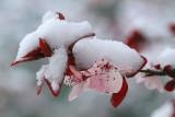 AZ - Sedona - Snowy Japanese Maple 3