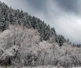 UT - Snowy Treeline 3