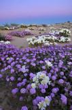 CA - Wildflower Field 3