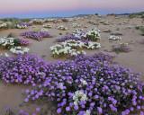 CA - Wildflower Field 4