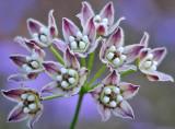 AZ - Crawling Vine Blossoms