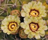 AZ - Giant Chin Cactus 1