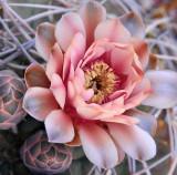 AZ - Giant Chin Cactus 2