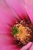 AZ - Hedgehog Strawberry