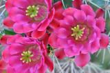 AZ - Phoenix - Rose Claret Cup Blossoms