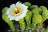 AZ - Saguaro Blossoms 2